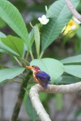 pigmee-kingfisher